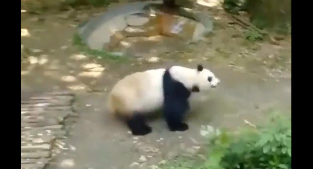Panda chasing peacock