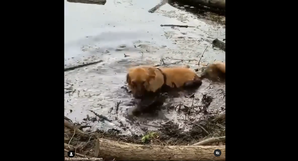 Golden retriever in dirt