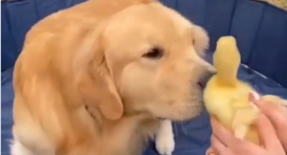 Retriever and Ducks
