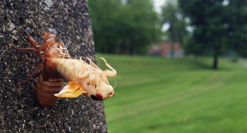 A periodical cicada sheds its skin