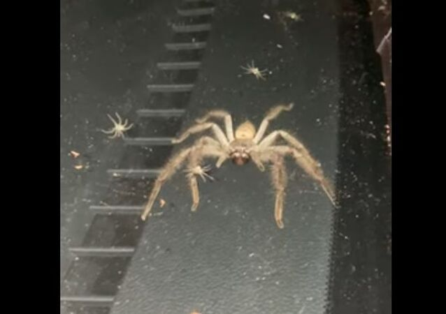 Huntsman spider and its babies