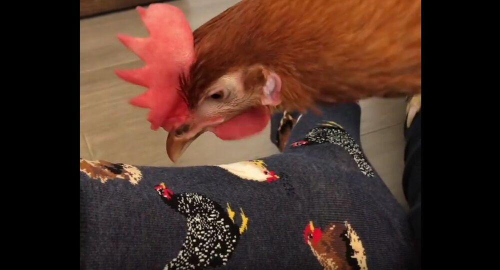 Hen Pecks at Socks With Chicken Pictures. ViralHog