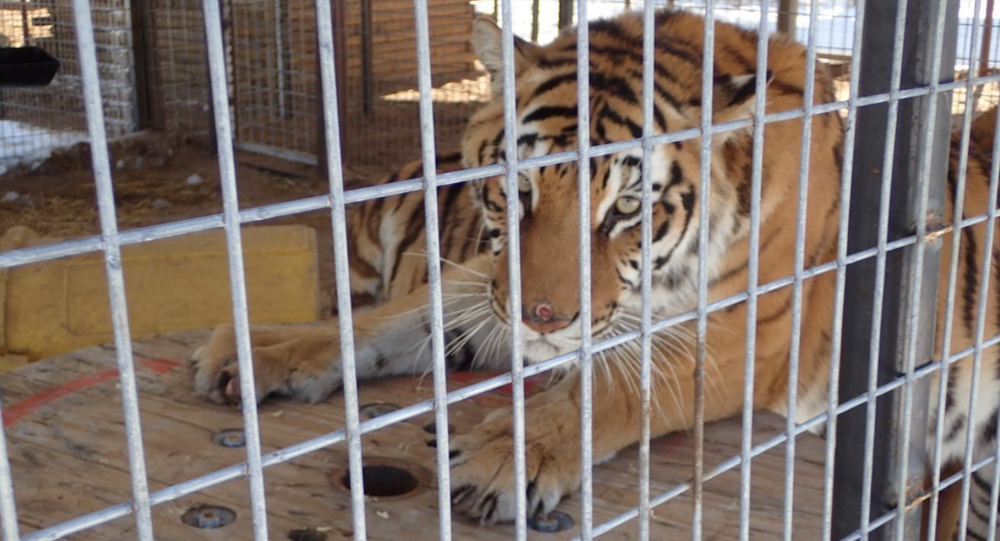 During the February 19, 2021 inspection, one tiger was observed with a circular wound on her nose. See photo below. Such skin lesions can be caused by trauma, infection, parasites, or other medical issues. Another tiger had hair loss on the top and inside of both front legs just below the elbow and small red lesions on several toes of both back feet. No veterinary records were provided for either animal.