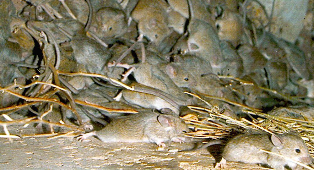 Mouse plague.