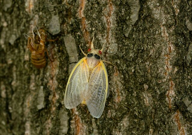 A newly emerged adult cicada dries its wings on a tree, as Brood X or Brood 10 cicadas have begun emerging from the earth after 17 years, in Louisville, Kentucky, U.S., May 20, 2021.