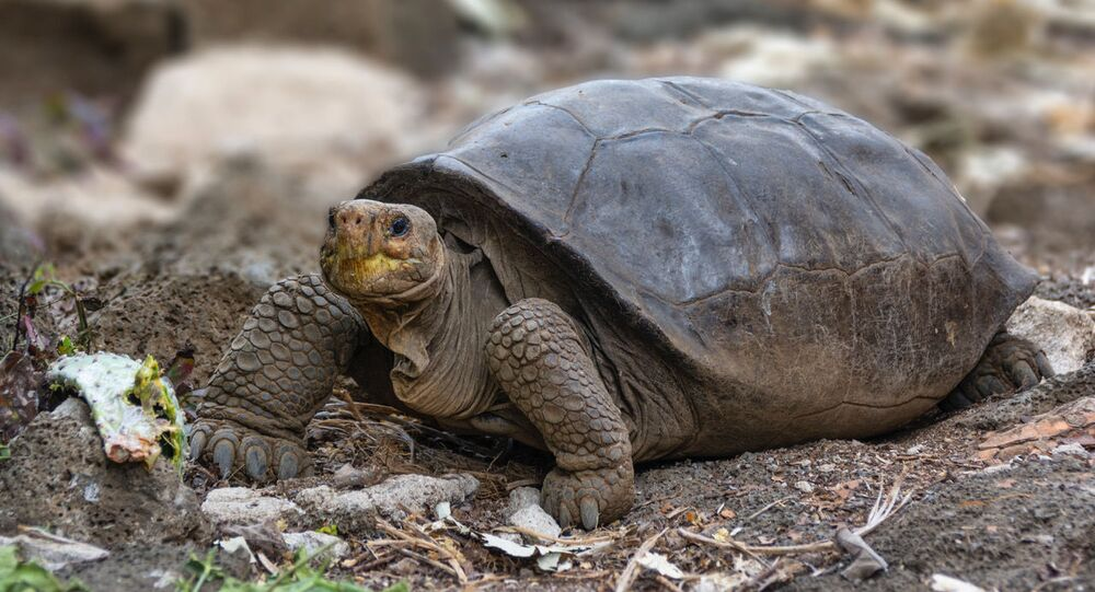 A photo of Fernandina Island Galápagos tortoise thought previously to be extinct