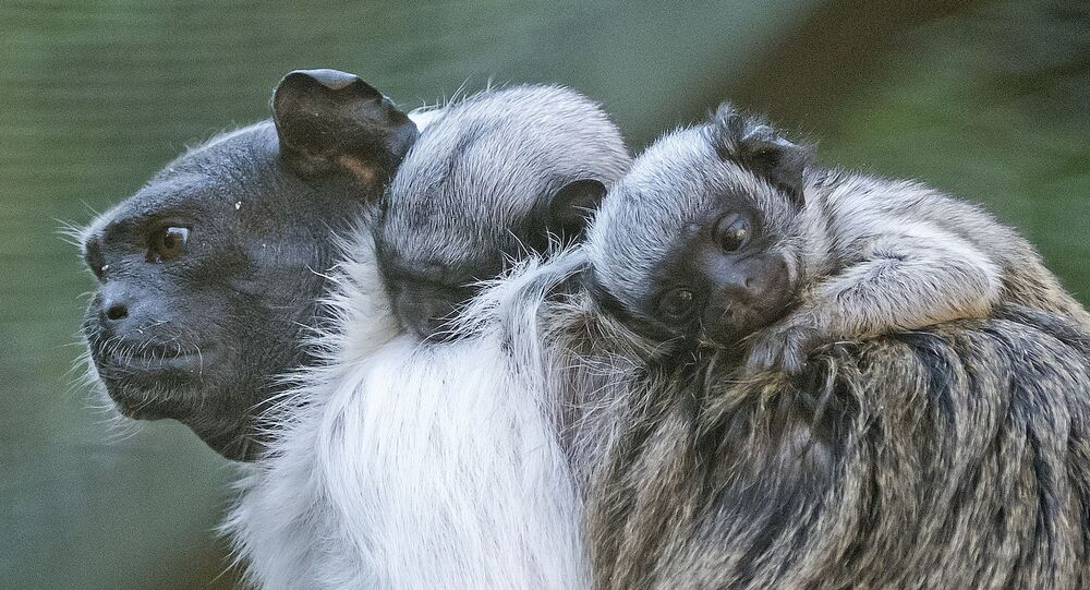 Pied tamarin twins babies seat on the back of their mother Lia at the zoo in Erfurt, Germany, Monday, Aug. 10, 2015. The two babies, whose gender is not yet known, were born on July 31, 2015.