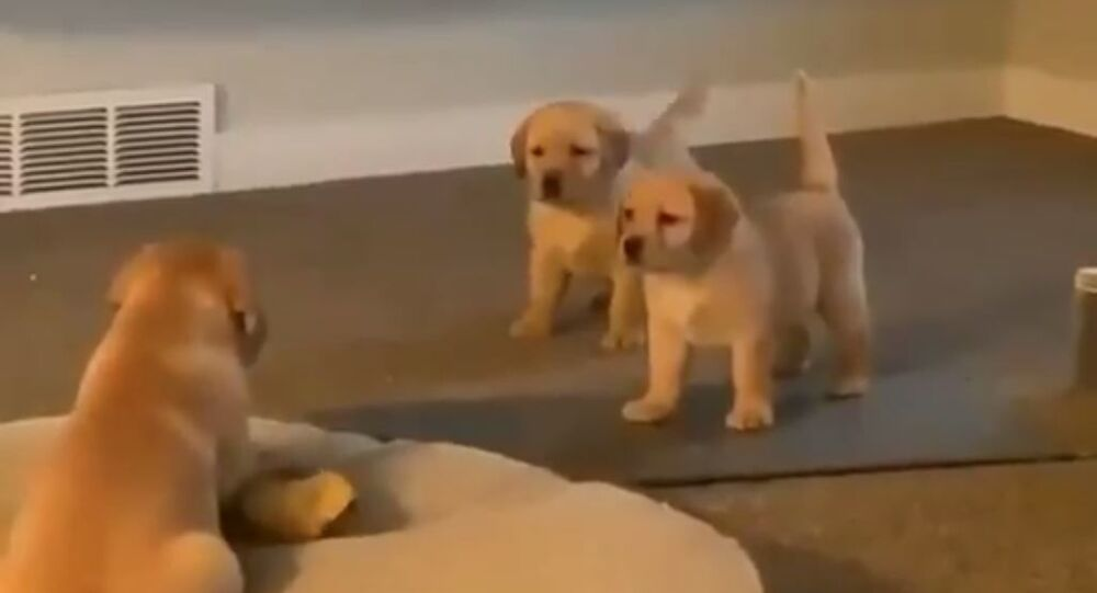 GR Puppy (2)