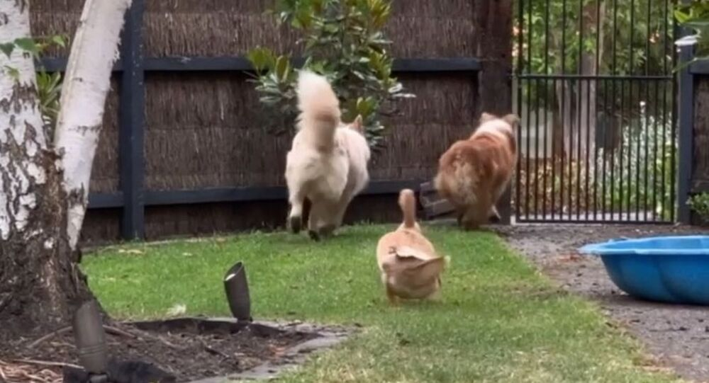 Duck Desperately Wants to Team Up With Dogs