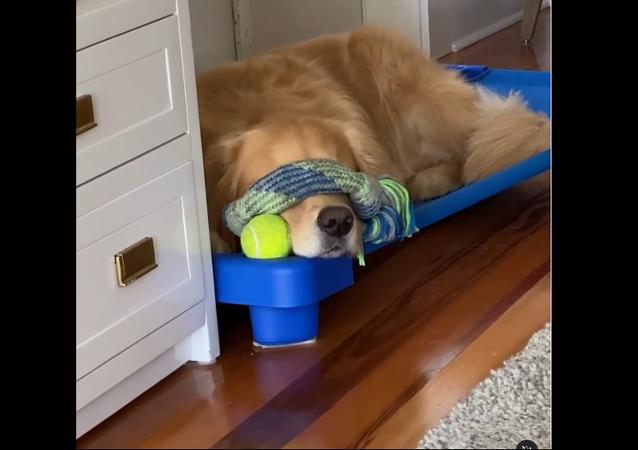 Golden Retriever napping