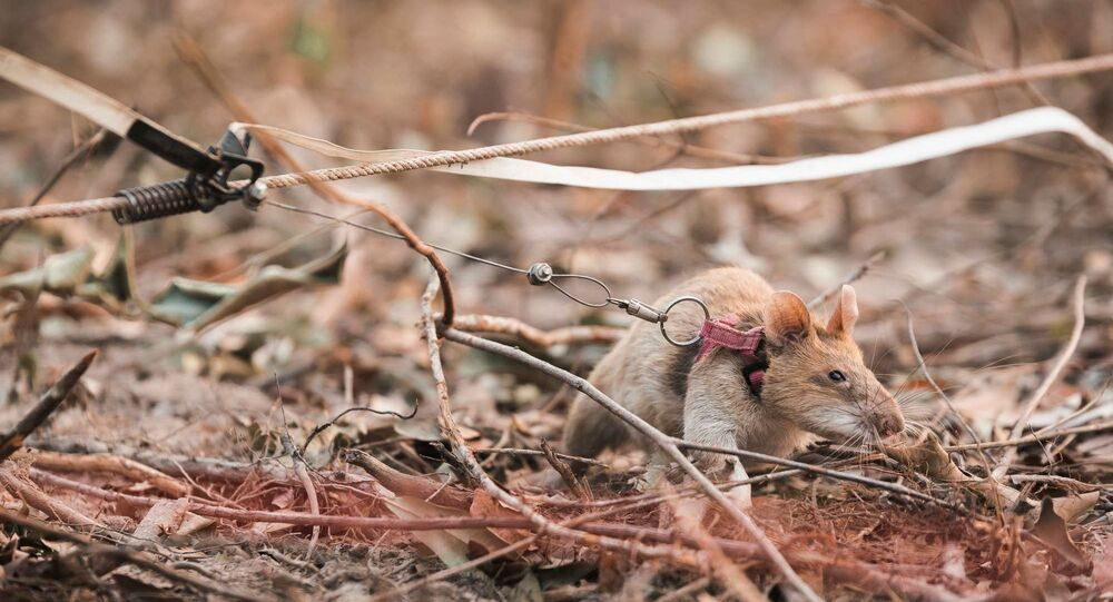 Image provided by APOPO captures Magawa searching for land mines, a job the award-winning African pouch rat has been doing for five years.