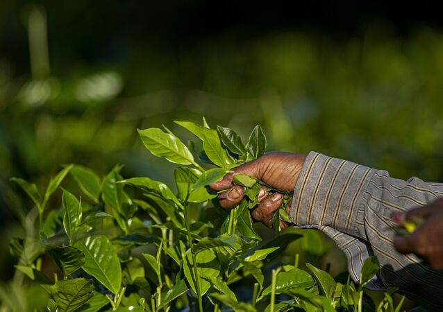 An Indian laborer plucks tea leaves at a tea garden on the outskirts of Gauhati, northeastern Assam state, India, Wednesday, Oct. 28, 2020.