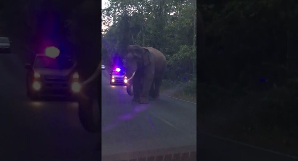 Elephants Teasing Each Other While Walking Down Road || ViralHog