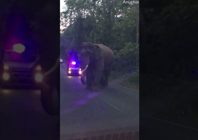 Elephants Teasing Each Other While Walking Down Road    ViralHog