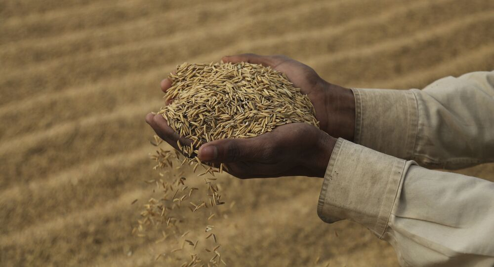 An Indian laborer dries rice crop on the outskirts of Jammu, India, Friday, Dec. 11, 2020