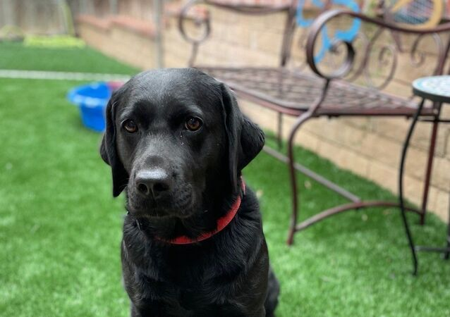 Image provided by the US Capitol Police captures Lila, a two-year-old Labrador retriever, who will serve as the very first full-time emotional support animal.