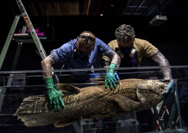 (FILES) In this file photograph taken on 29 March 2019, taxidermists install a coelacanth in a formol-filled tank for the 'Ocean' exhibition ahead of its opening at the National Museum of Natural History (Museum d'Histoire Naturelle) in Paris