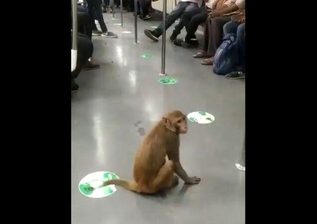 Monkey Takes a Fun Ride in Delhi Metro