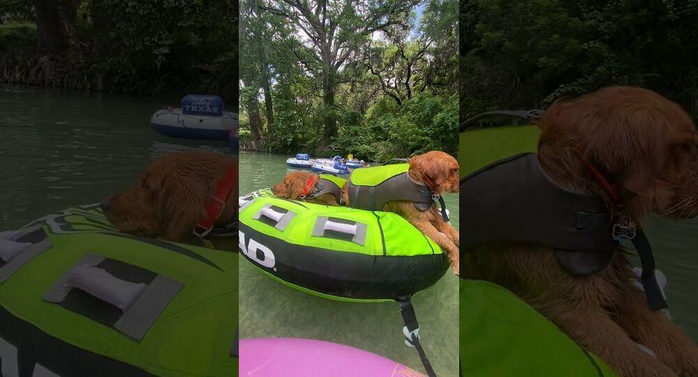 Golden Retrievers Travel Down River in Style || ViralHog.