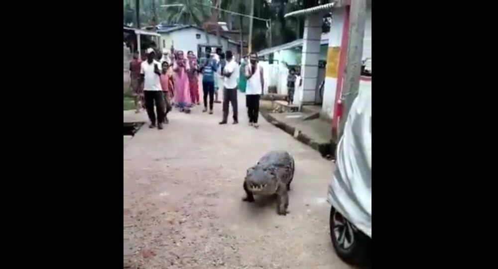 A crocodile was seen roaming around in Dandeli. For around half an hour-  scarred the hell out of Kogilabana villagers in Uttara Kannada district