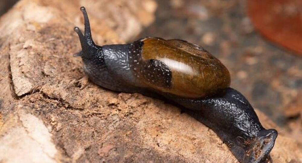 Varadia snail