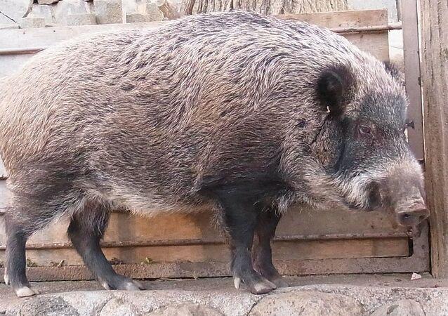 Japanese wild boar