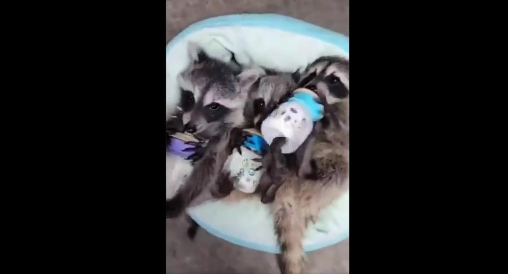 Baby raccoon feeding