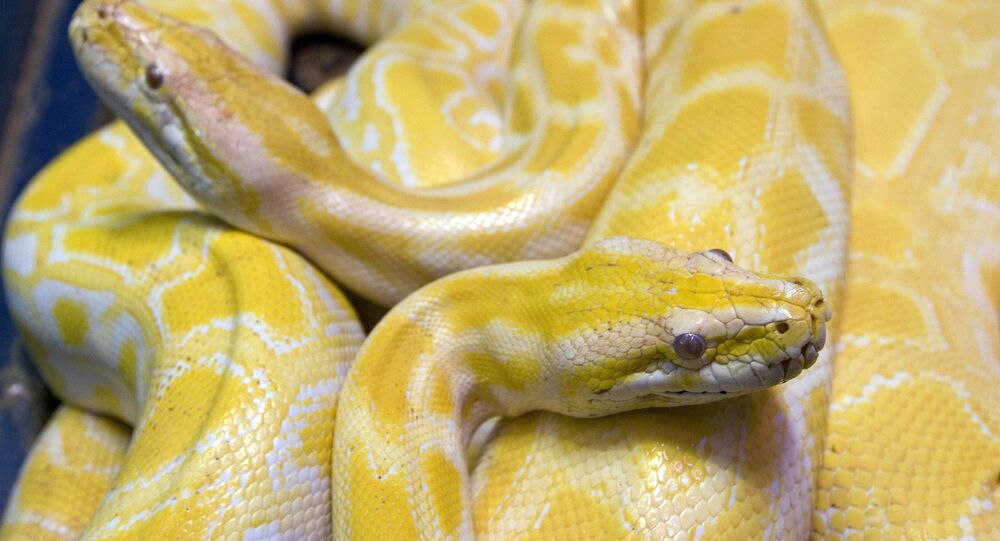 Two albino python snakes are on exhibit at the Butantan Institute in Sao Paulo, Monday, Sept. 29, 2008.