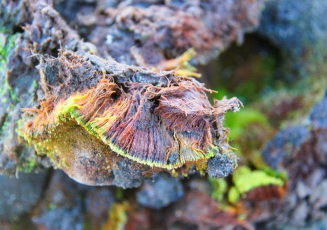 The dark-green and unbranched moss Bryum bharatiensis has been named after India