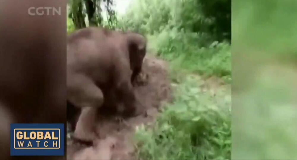 Cute Alert! A baby elephant was captured enjoying a hill slide at a rescue center in China's Yunnan province. It shows the calf going on all fours for an adventure down the muddy slope
