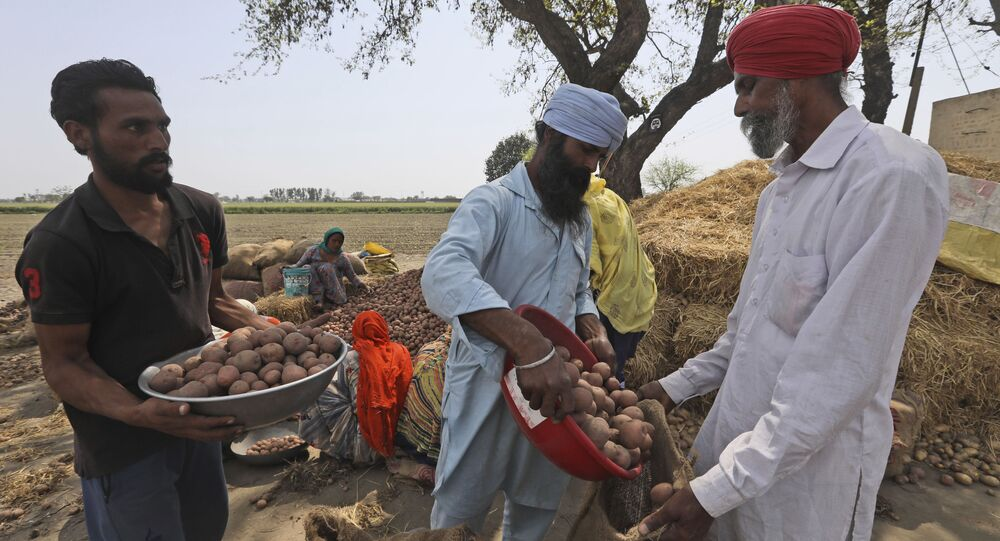 Laborers sort potato crop other than rice and wheat at  Nihal Singh Wala village in Moga district of Indian state of Punjab, Saturday, March 13, 2021
