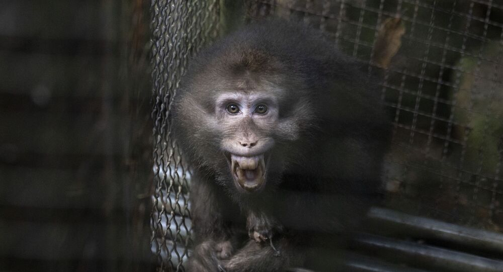 A monkey bares its teeth at visitors in an animal shelter that is part of tourist site in Wuyishan in eastern China's Fujian province on Friday, Aug. 16, 2019