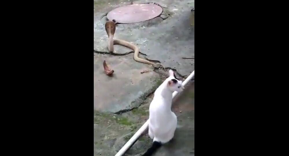 Cat prevents cobra from entering house of its owner in Bhubaneswar