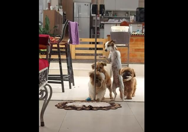Breaking in Like a Pro: Adorable Fluffy Doggos Team up to Open Glass Door