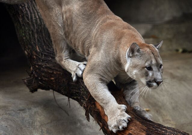 A cougar at the Moscow Zoo.