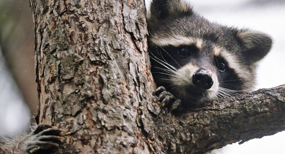A raccoon at the Moscow Zoo.