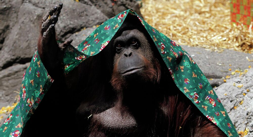 An orangutan named Sandra, covered with a blanket, gestures inside its cage at Buenos Aires' Zoo, in this December 8, 2010 file photo. An orangutan held in an Argentine zoo can be freed and transferred to a sanctuary after a court recognised the ape as a non-human person unlawfully deprived of its freedom, local media reported on Sunday.