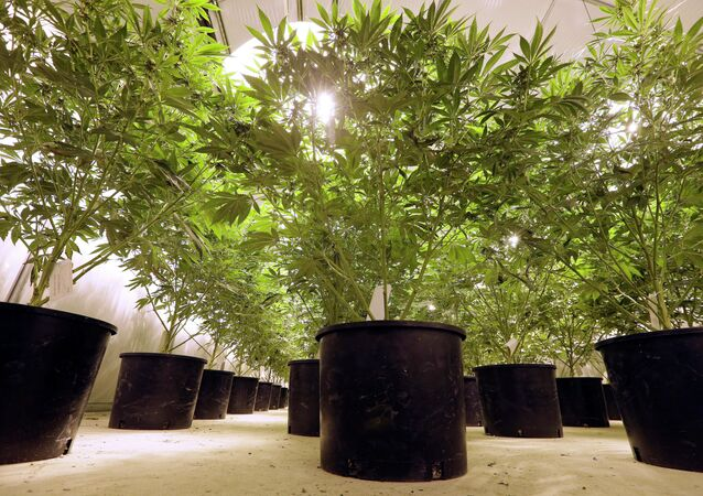 In this photo taken Tuesday, Jan. 13, 2015, marijuana plants sit under powerful growing lamps at the Pioneer Production and Processing marijuana growing facility in Arlington, Wash. Washington's second-in-the-nation legal marijuana market opened last summer to a dearth of weed, with some stores periodically closed because they didn't have pot to sell and prices were through the roof. Six months later, the equation has flipped, bringing serious growing pains to the new industry. Prices are starting to come down in the state's licensed pot shops, but due to a glut, growers are struggling to sell their marijuana.
