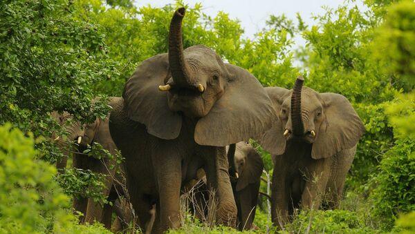 African Elephants - Sputnik International