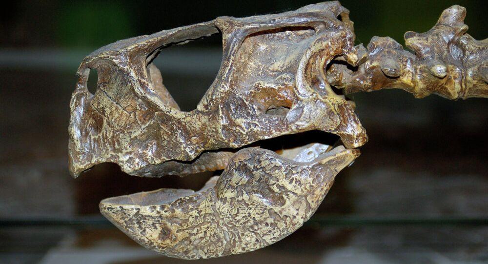 Psittacmongol skullcast aus
