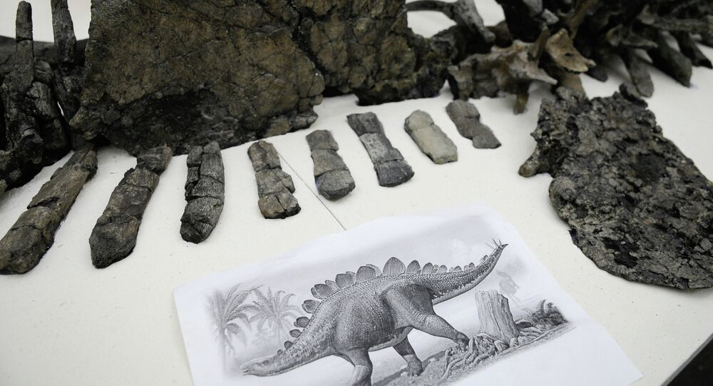 Fragmented skeleton of a 175-million-years-old giant stegosaurus discovered in a coal mine off Krasnoyarsk