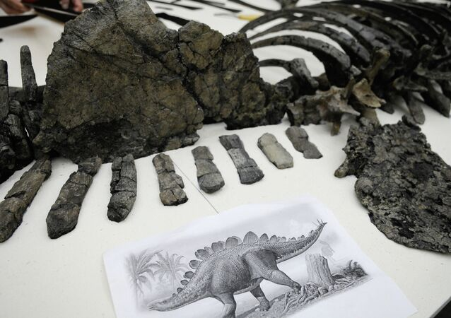 Fragmented skeleton of a 175-million-years-old giant stegosaurus discovered in a coal mine off Krasnoyarsk