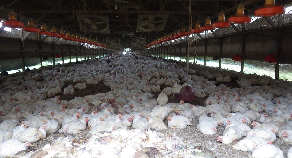 Kumamoto Prefecture, chickens are seen at a farm where H5 virus was detected in two birds on Sunday