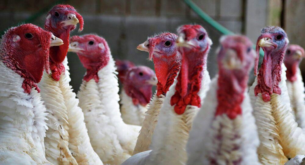 Turkeys look around their enclosure at Seven Acres Farm in North Reading, Massachusetts November 25, 2014