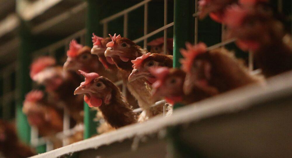 Work at 1st Minsk Poultry Factory in Minsk Region