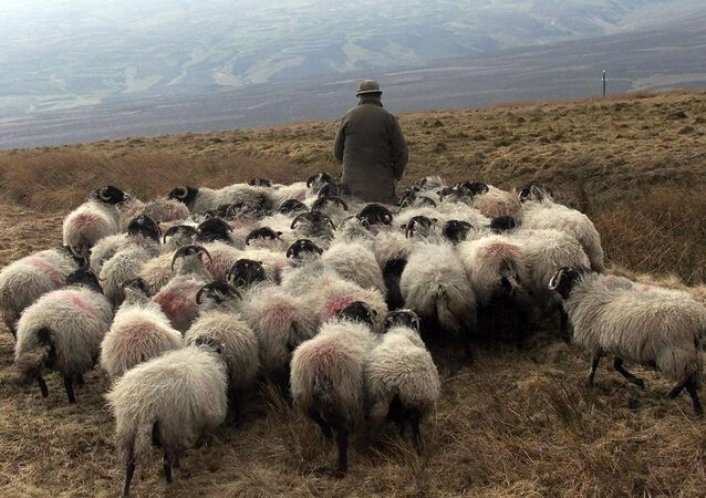 A farmer with his flock of sheep walk the hills of Aston in Cumbria, northern England