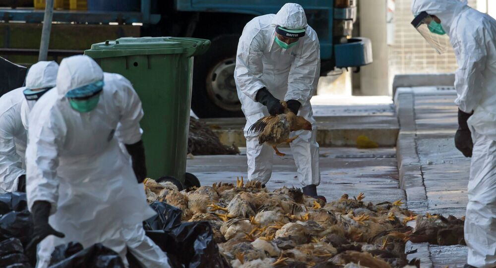 Health workers pack dead chickens into trash bins at a wholesale poultry market in Hong Kong December 31, 2014