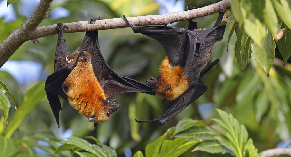 Bats in the fig trees in northern Zambia have a high prevalence of Ebola anti-bodies and may hold a clue to a cure for the deadly virus