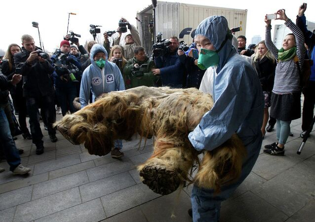 Russian Geographic Society staff members carry the body of baby mammoth to put on display in Moscow, Russia, Tuesday, Oct. 28, 2014
