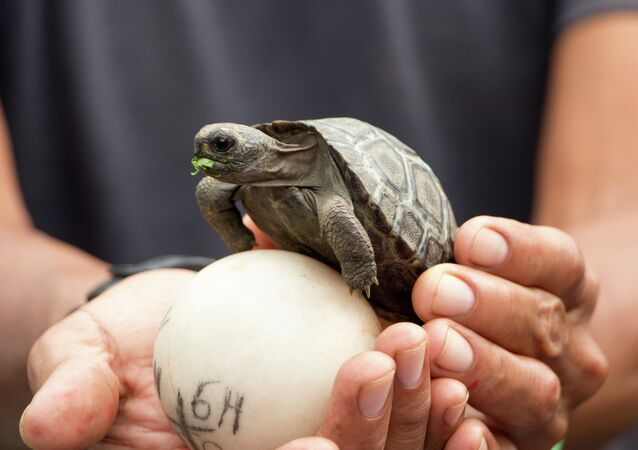 A baby Galapagos giant tortoise